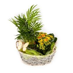Lillekorv - kuldviljak palm...
