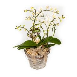 Lillekorv - metsik orhidee
